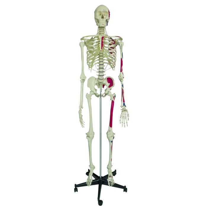 Model Skeleton Human Full Size With Muscle Painting Sports