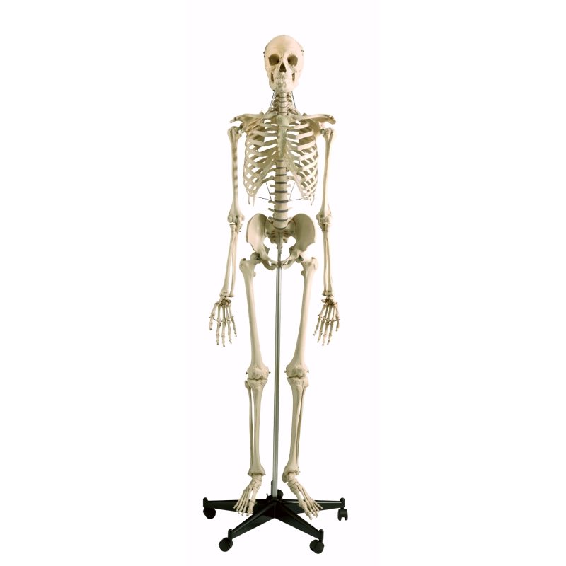 Model Skeleton Human Full Size Sports Supports Mobility