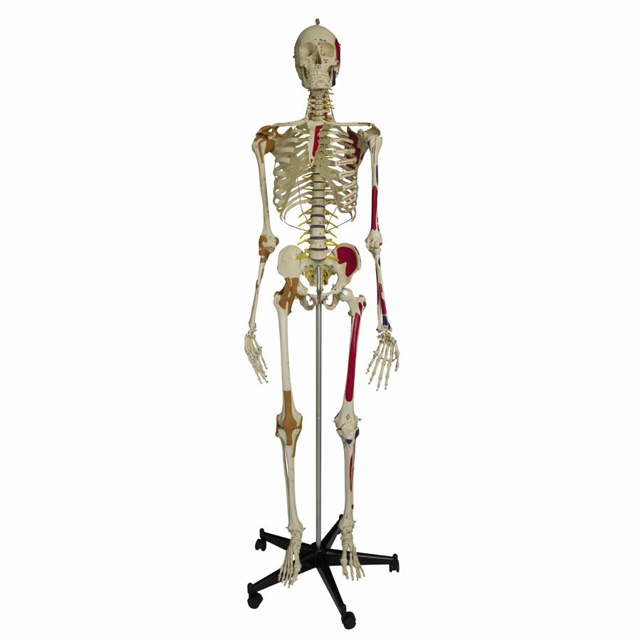Flexible Super Model Skeleton With Ligaments and Muscles :: Sports ...