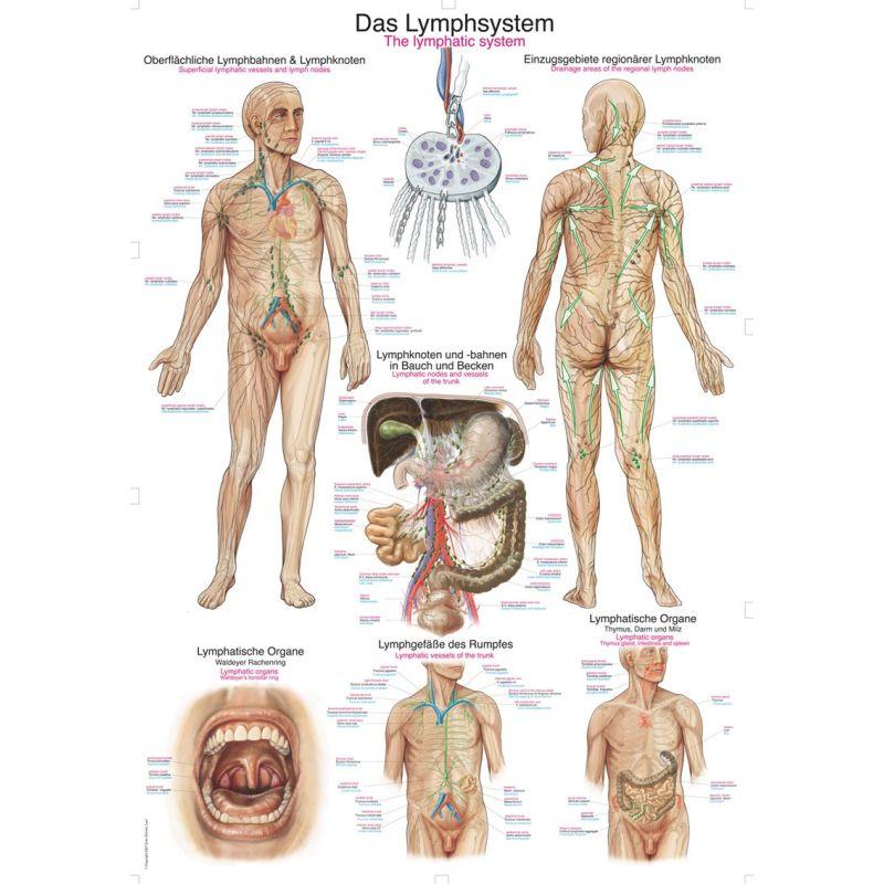 Nett Lymphsystem Chart Galerie - Menschliche Anatomie Bilder ...