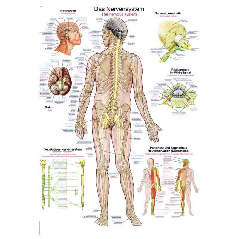 The Nervous System Educational Chart Sports Supports Mobility