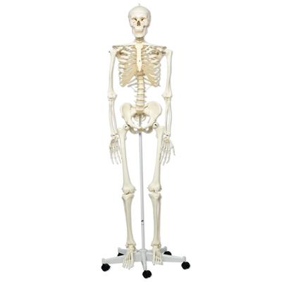 Anatomical model skeleton stan a10 sports supports mobility anatomical model skeleton stan a10 ccuart Images
