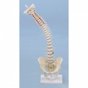 Vertebral Column with Removable Pelvis