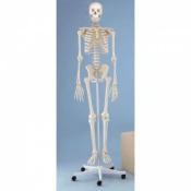 Didactic Model Skeleton Oscar