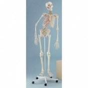 Therapy Model Skeleton Peter