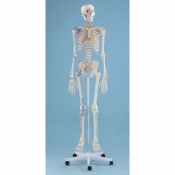 Detailed Anatomical Model Skeleton Bert