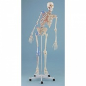 Detailed Anatomical Therapy Skeleton Max