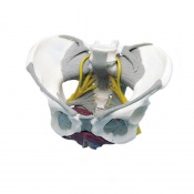 Female Pelvis Model with Ligaments, Nerves, and Pelvic Floor