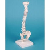Miniature Spinal Column Model