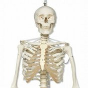 Functional Human Skeleton Model Frank Flexible Realistic Movement Posable