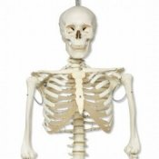 Physiological Human Skeleton Model Phil Flexible On Hanging Roller Stand