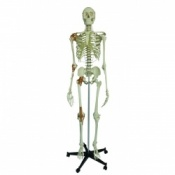 Model Skeleton Human Full Size with 4 Ligaments