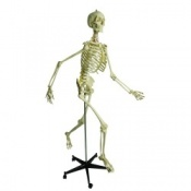 Anatomical Physiological Model Skeleton