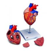 Heart 2-Times Life Size 4 Part