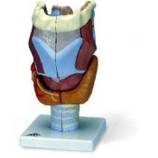 Larynx 2 Times Full-Size 7 Part