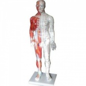 Male Meridian and Muscle Points Acupuncture Model