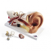 Ear 3 Times Life Size 4 Part