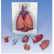 Lung Model With Larynx 7 Part