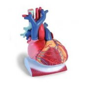 Heart On Diaphragm 3 Times Life Size 10 Part