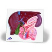 Liver With Gall Bladder Pancreas And Duodenum