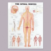 Anatomical Chart of the Spinal Nerves