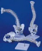 Anatomical Model Premium Flexible Skeleton of the Spine