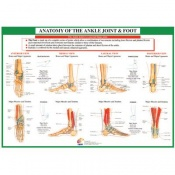 Chartex Ankle Joint and Foot Anatomical Chart