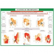 Chartex Hip Joint Anatomical Chart