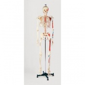 Classic Hand Painted Life-Size Model Skeleton