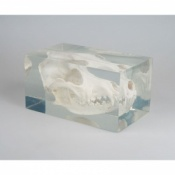 Dog Skull In Plastic Block