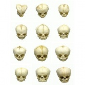 Foetal Skull Models Full Set of Twelve 13 - 40 1/2 Weeks