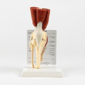 Anatomical Model of a Muscled Knee Joint