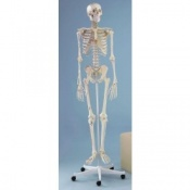 Full Size Anatomical Skeleton With Muscle Marking Arnold