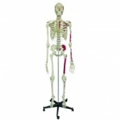 Model Skeleton Human Full Size with Muscle Painting