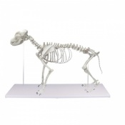 Life-Size Dog Skeleton Model