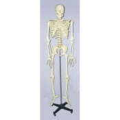 Life Sized Model Skeleton With Frame