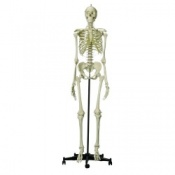Model Skeleton Human Female Full Size