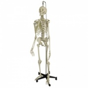 Model Skeleton Human Full Size With Hanging Stand