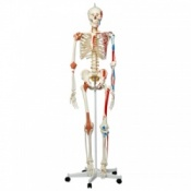 Model Skeleton Sam Flexible With Muscles And Ligaments