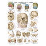 ''The Human Skull'' Educational Chart