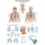 ''The Respiratory System'' Educational Chart